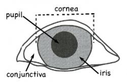 Øjets inddeling