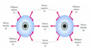 Øjets muskler