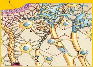 8 = astrocytter omgiver kapilærer i hjernen