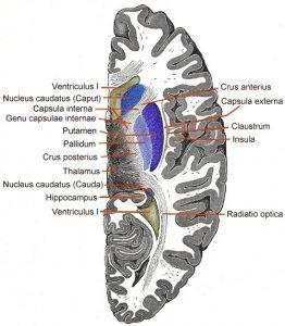 Capsula interna