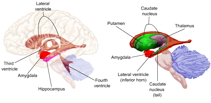 the role of the amygdala gaba Because gaba is the primary inhibitory neurotransmitter in the brain, it obviously plays an important role in controlling the neuronal hyperactivity associated with anxiety since gaba agonists can induce comas, the pharmaceutical industry has had to turn to other ligands that enhance gaba's effects.