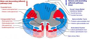 baner-medulla-spinalis