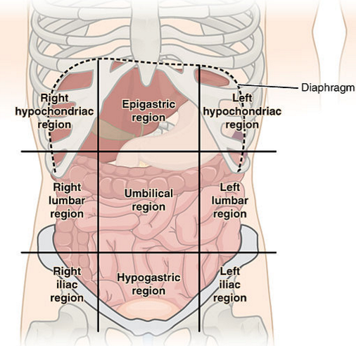 Stomach Muscles Labeled additionally Index php likewise Index php moreover 2053041 together with Draw And Label The Human Stomach. on body cavities