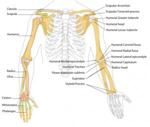 overekstremitet-knogler