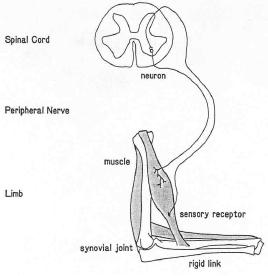 straekrefleks