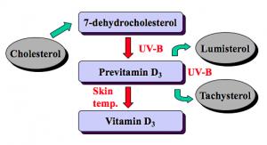 Syntese af vitamin D i huden