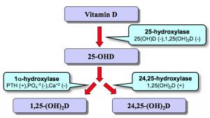 Syntese af vitamin D i leveren og nyren
