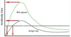 Med adjuvans opnås hurtigere en beskyttelse mod sygdommen
